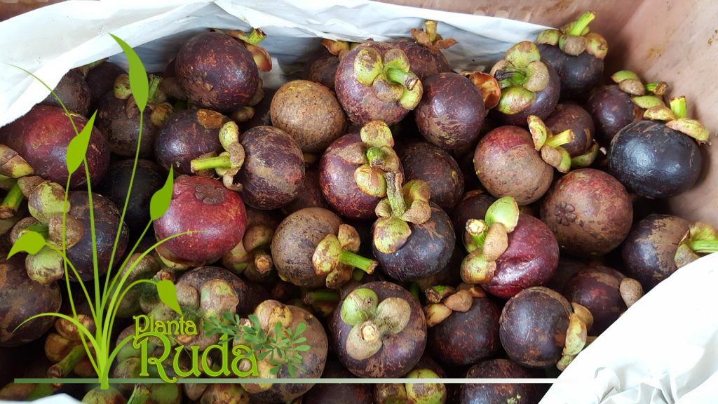 Mangostán: La superfruta asiática