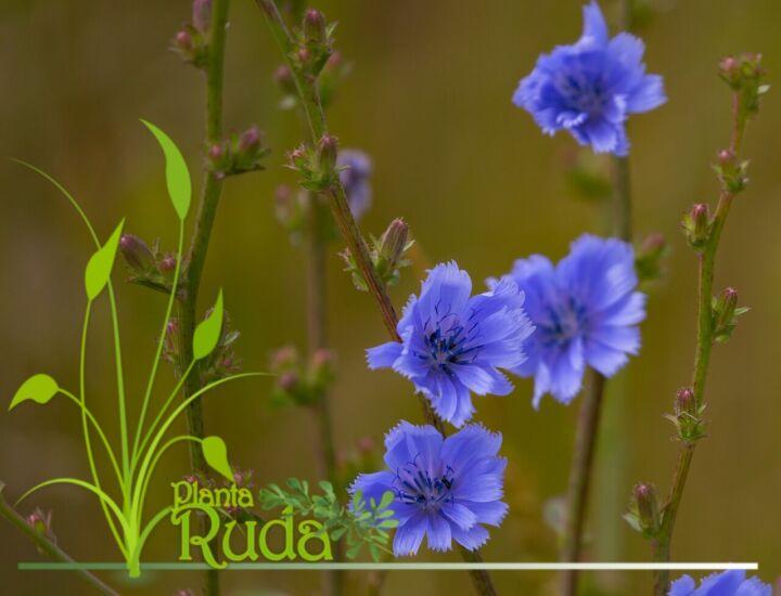 Magia herbal de la achicoria