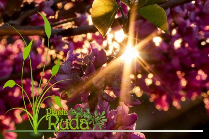 Árbol del Amor o Árbol de Judas
