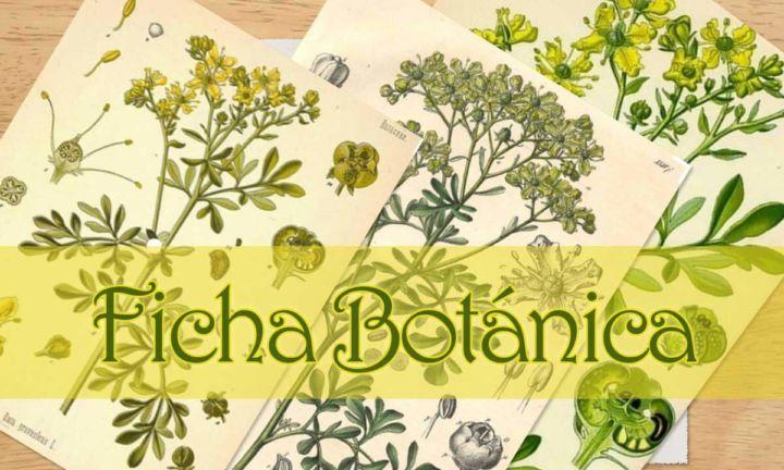 Información botánica de la planta ruda