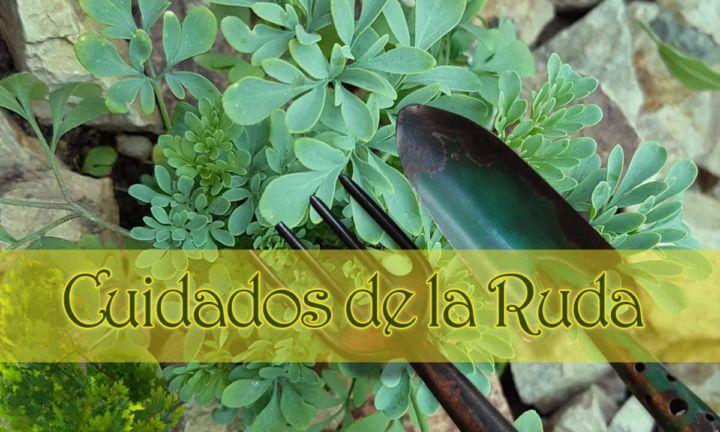 Cuidados de la planta ruda