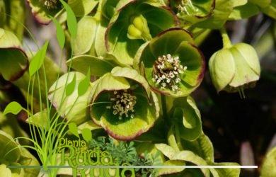 Eleboro (Helleborus foetidus)