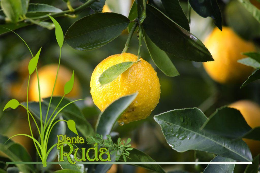 Propiedades mágicas de las hojas de limón