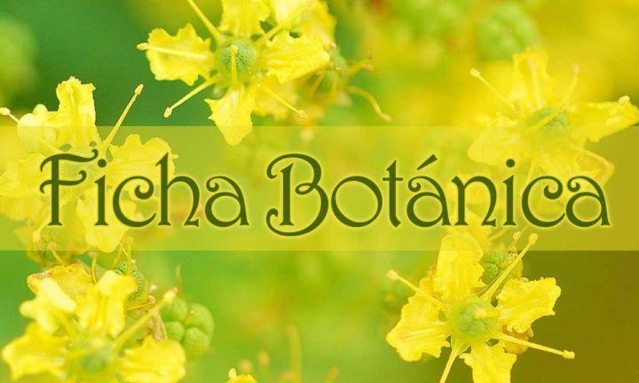 Ficha botánica de la planta ruda