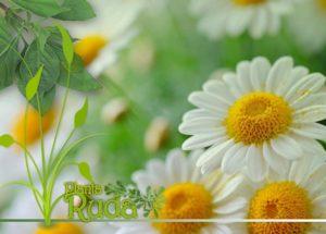 Planta Manzanilla. Propiedades y Beneficios para la Salud