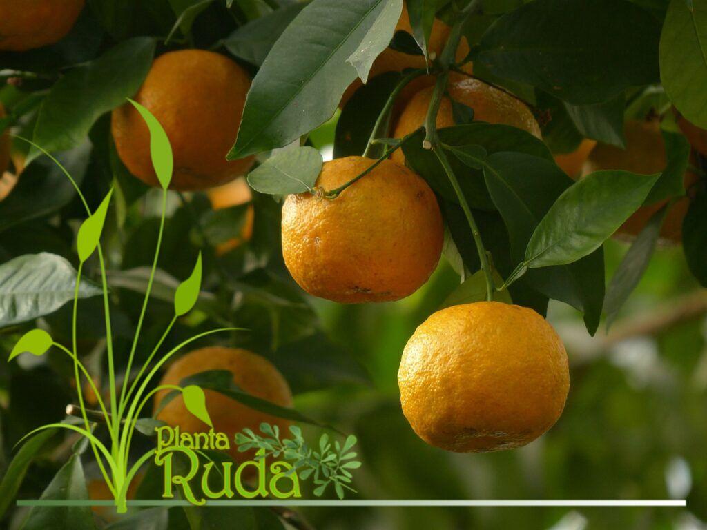Naranja amarga para dormir bien