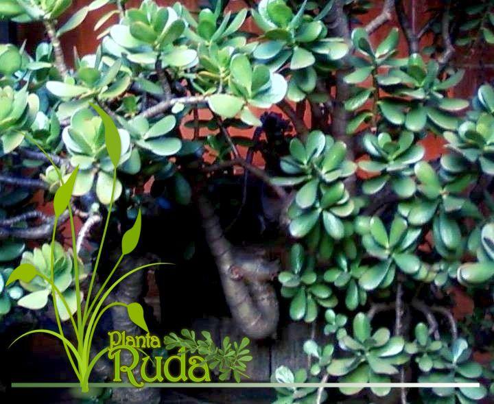Cuidados de la planta de jade