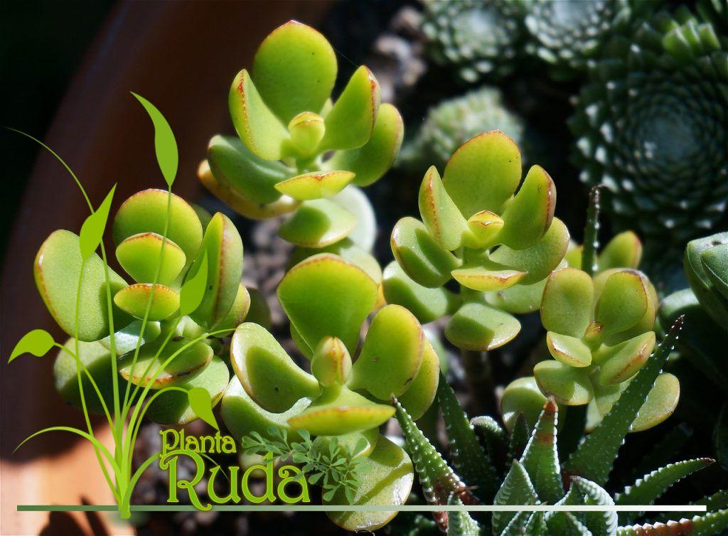 La Planta de Jade